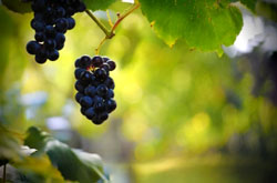 """Tipos de uva de la DOToro. Enoturismo. Vino. Enologia"""
