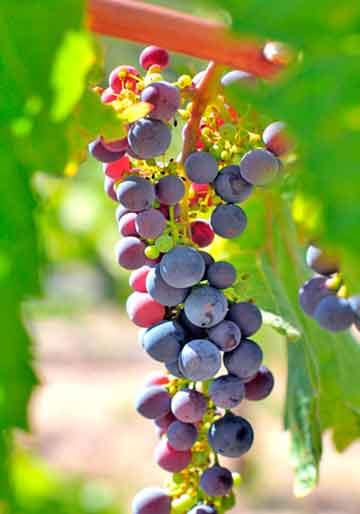 racimo-uvas-envero-vinedo-vino